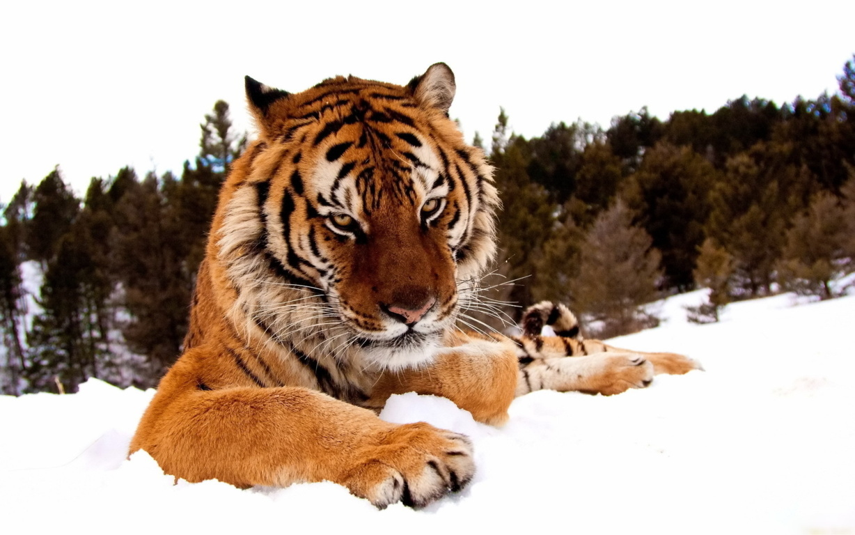 Desktop Hd Cute Tigers Download Wallpaper