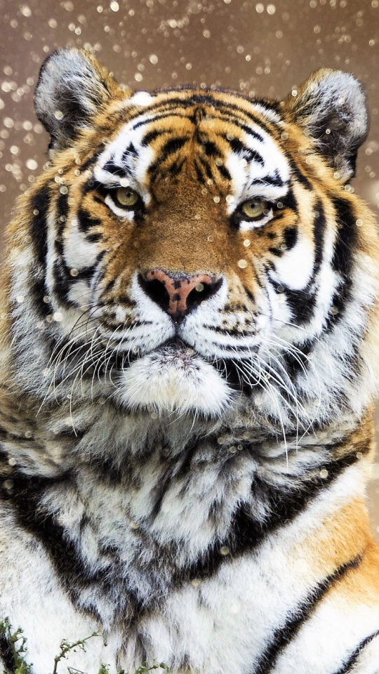 Detroit Tigers iPhone Wallpaper
