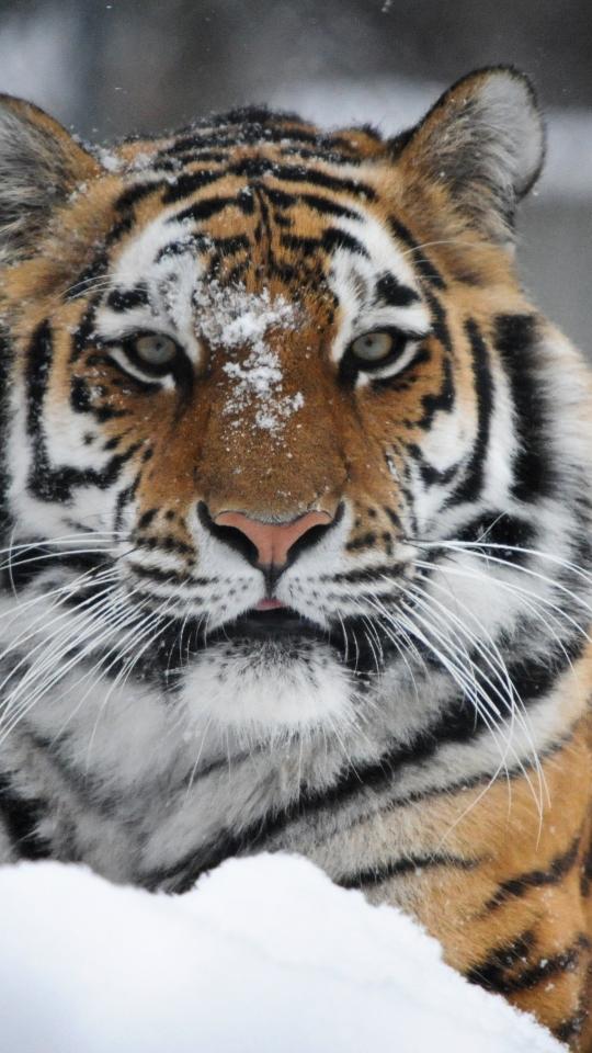 Devour The Space Beautiful Tiger Art Tiger Wallpaper