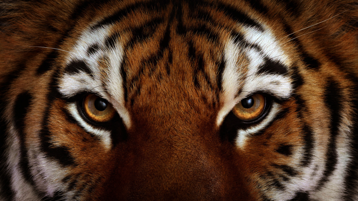 Download Free Tiger Hd Wallpapers