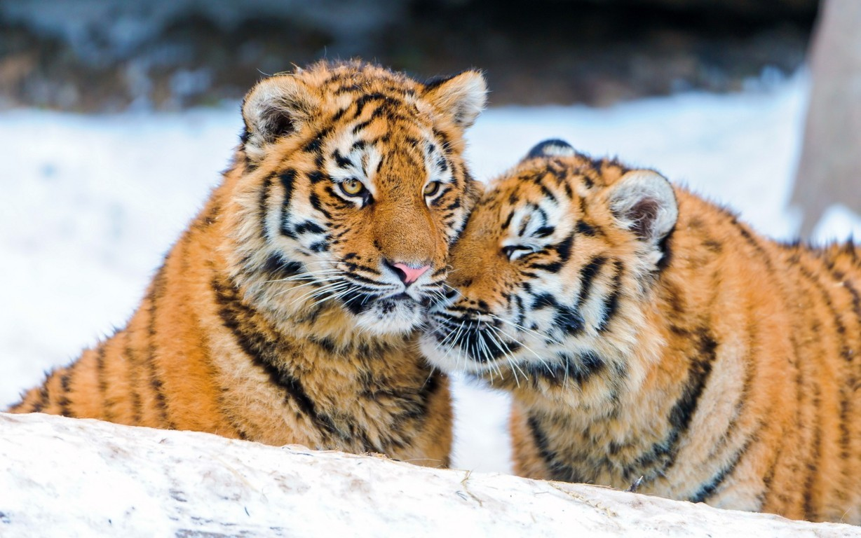 Download Free Tiger Wallpaper Collection Of Full Screen Amazing