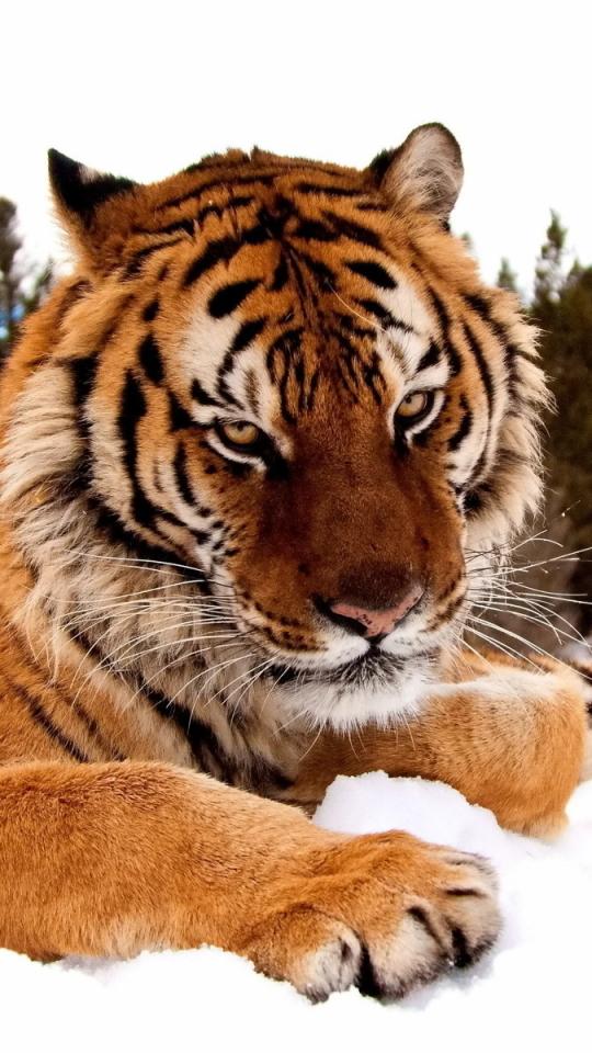 Download Wallpaper Tiger Predator Animal