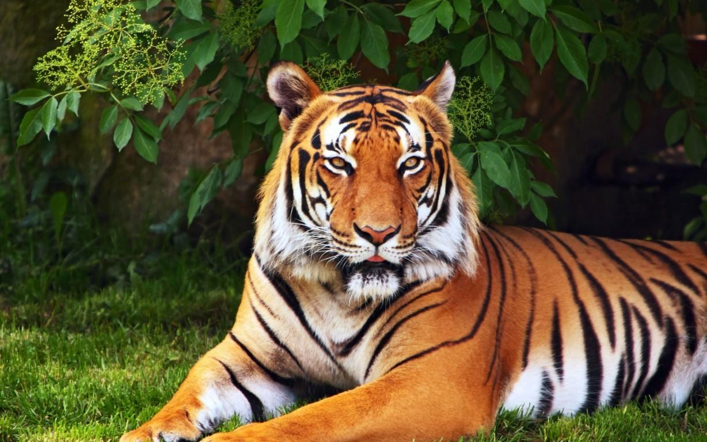 Download White Tiger Autumn Free Pure 4k Ultra Hd Sunlight