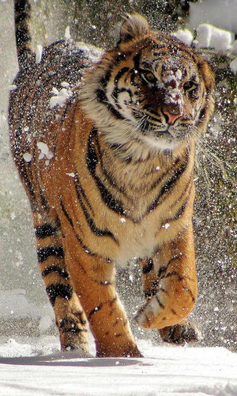 Felines Tiger Wallpaper For X 8 7 6 Iphone