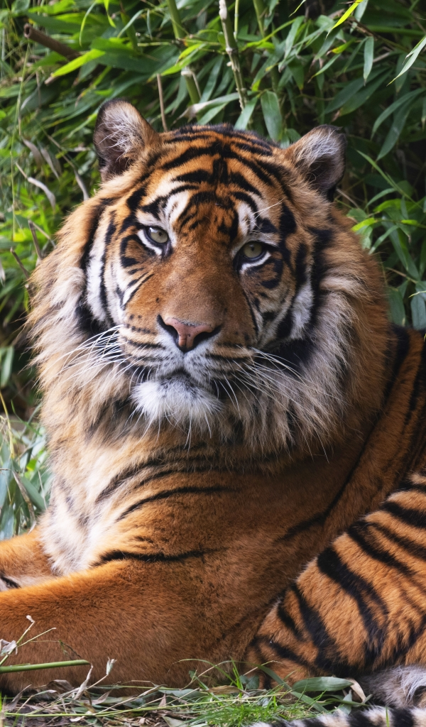 Felines Tiger Wallpaper For X 8 7 Iphone