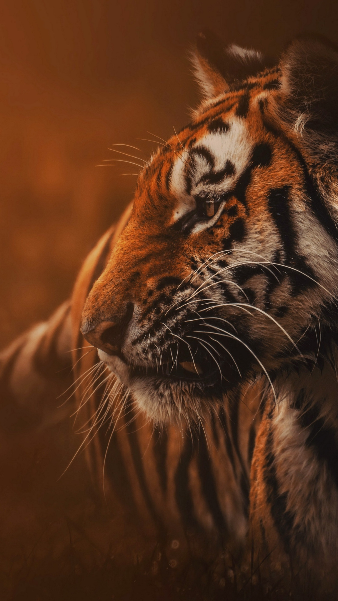 Free Download Savanna Tiger Hd Wallpapers Hd Wallpapers For Your Desktop Mobile & Tablet Wildlife