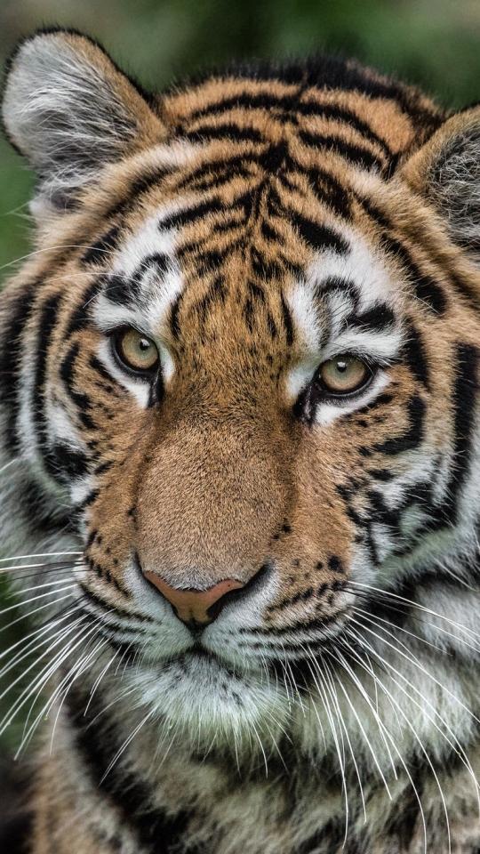 Free Hd Bengal Tiger Wallpaper Phone