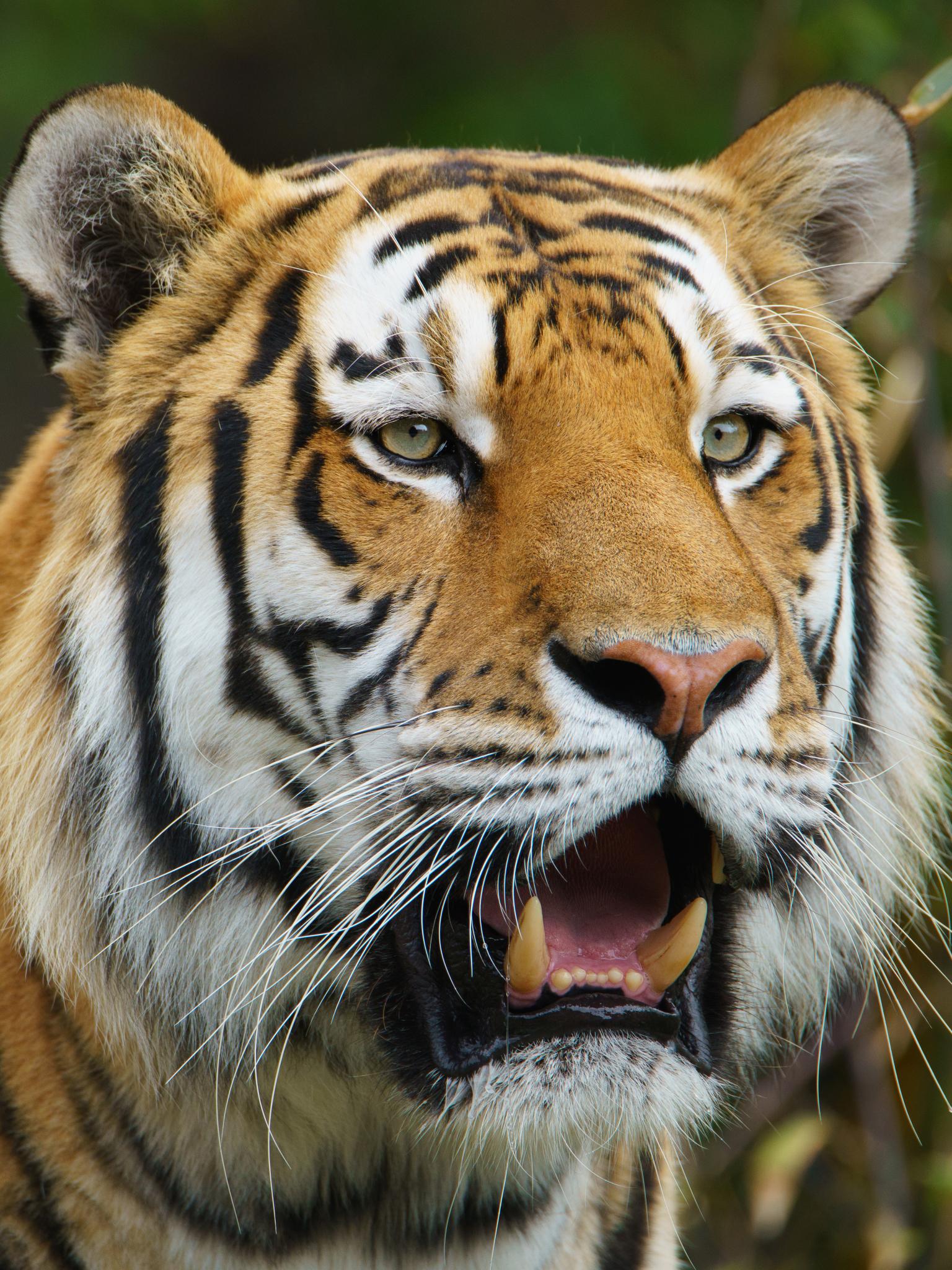 Free Hd Wild Tiger Wallpaper Phone