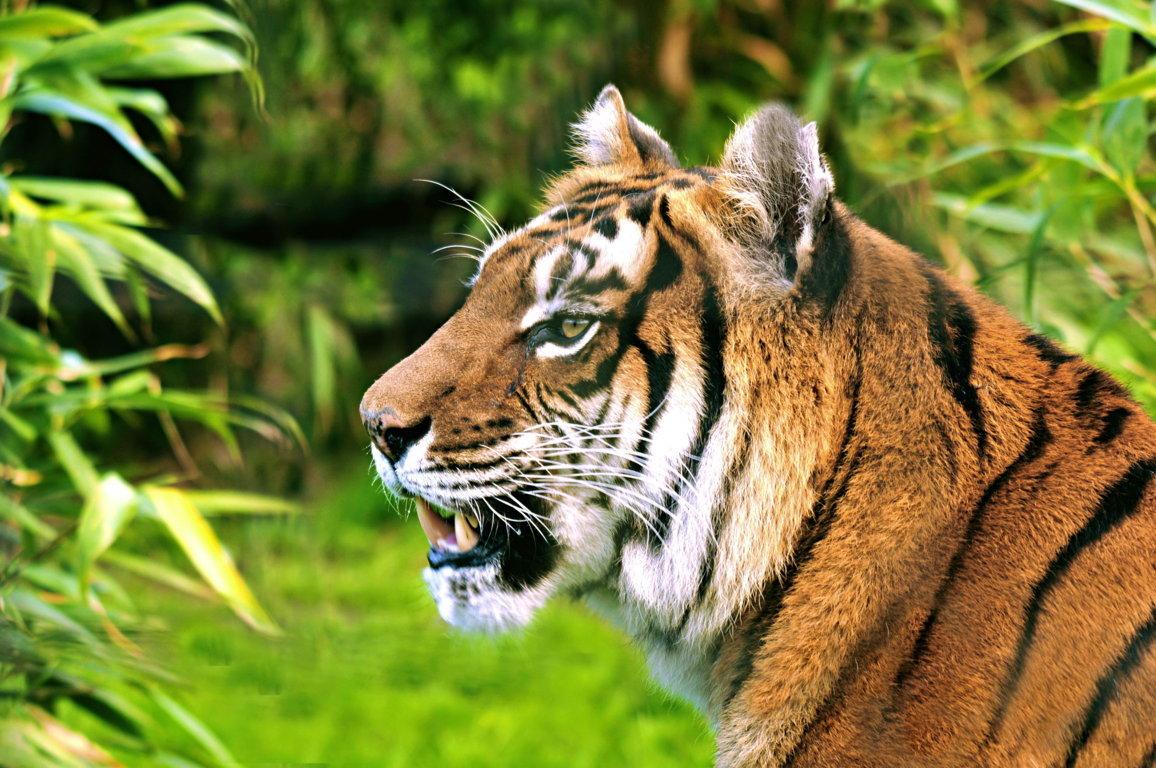 Iages Cute Tiger Cubs Hd Wallpaper