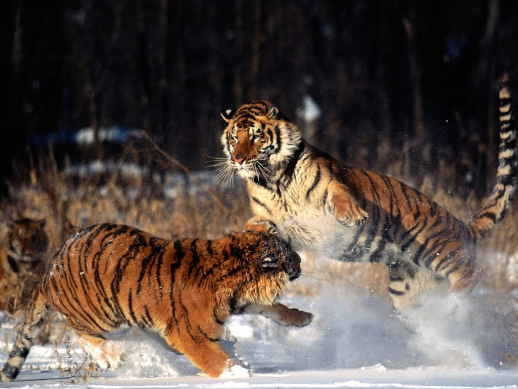 Real Tigers Wallpapers 3d Hd 4k Full