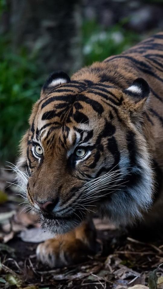 Roaring Tiger 4k Ultra Mobile Wallpapers Hd