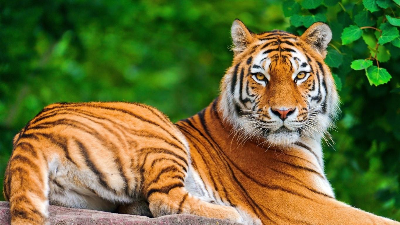 Roaring Tiger Ultra Hd Wallpaper 4k