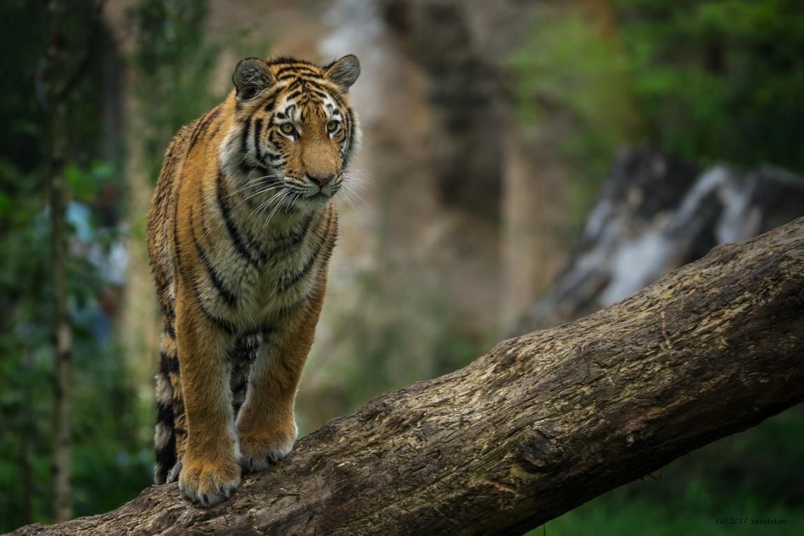 Tiger Desktop Wallpapers