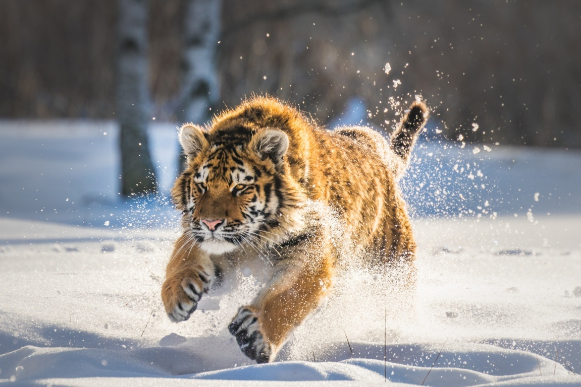 Tiger HD wallpapers Wallpapers HD