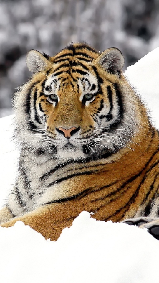 Tiger Hd Wallpaper Backgrounds Windows 10 Mobile Desktop Backgrounds For