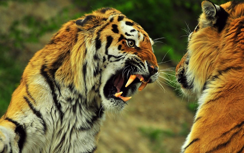Tiger In Water 4k Desktop Wallpapers For 4k Ultra Hd Hd
