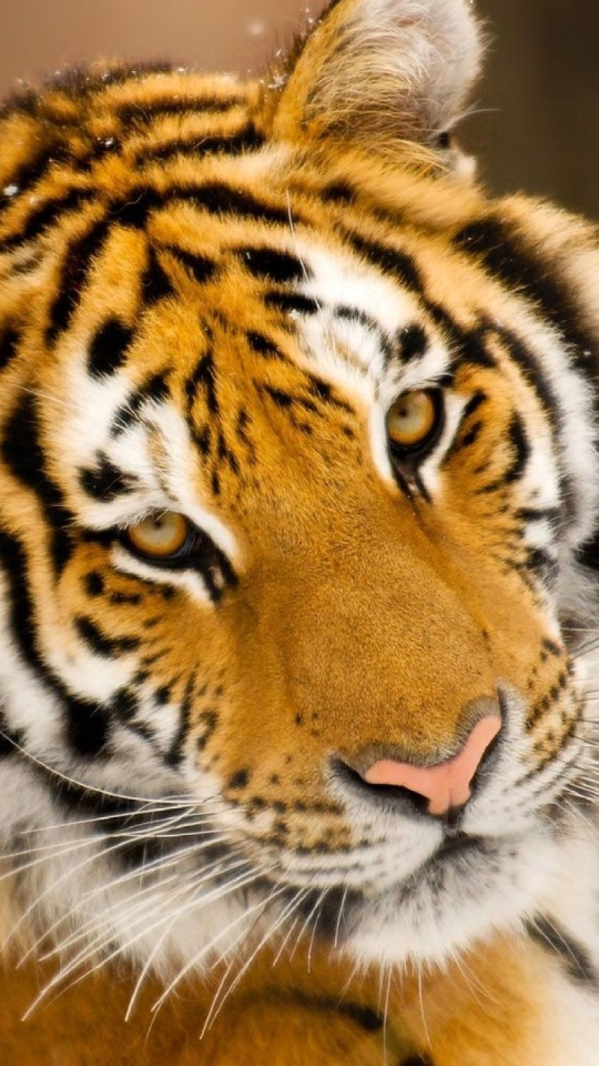 Tiger Mobile Wallpapers Group