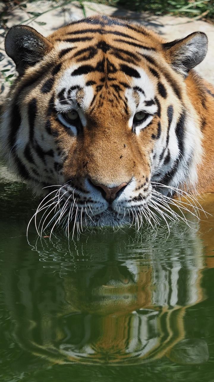 Tiger Phone Wallpaper
