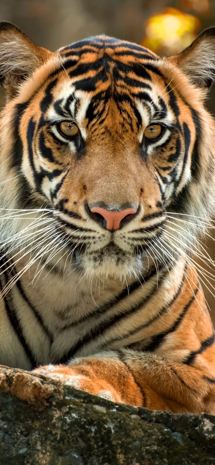 Tiger Roar Face Ultra Desktop Backgrounds Wallpapers For 4k Uhd Tv Tablet Smartphone Hd