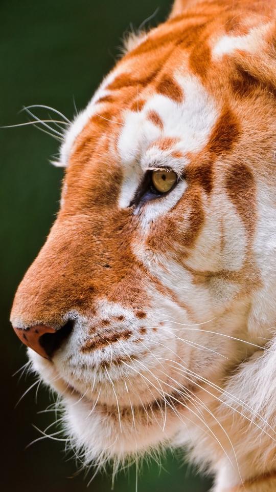 Tiger Roar Iphone 6 4k Hd