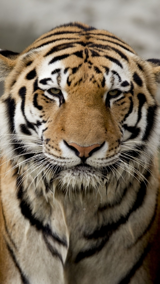 Tiger Roar Iphone 6 6s Hd 4k Iphone