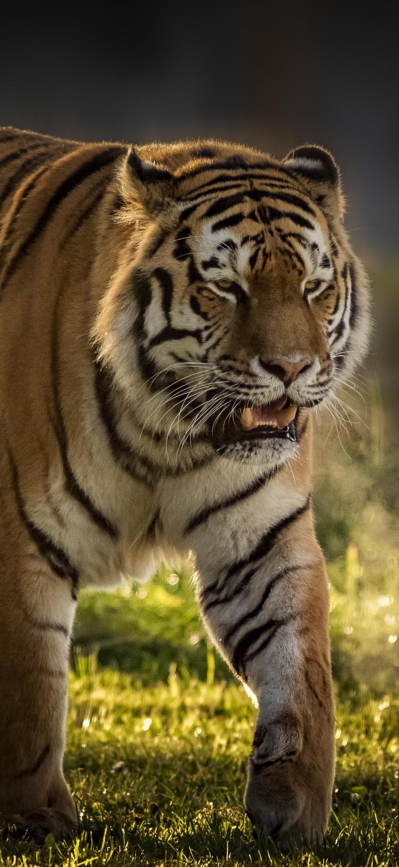 Tiger Splash Oil Paint Wallpaper Painting Art