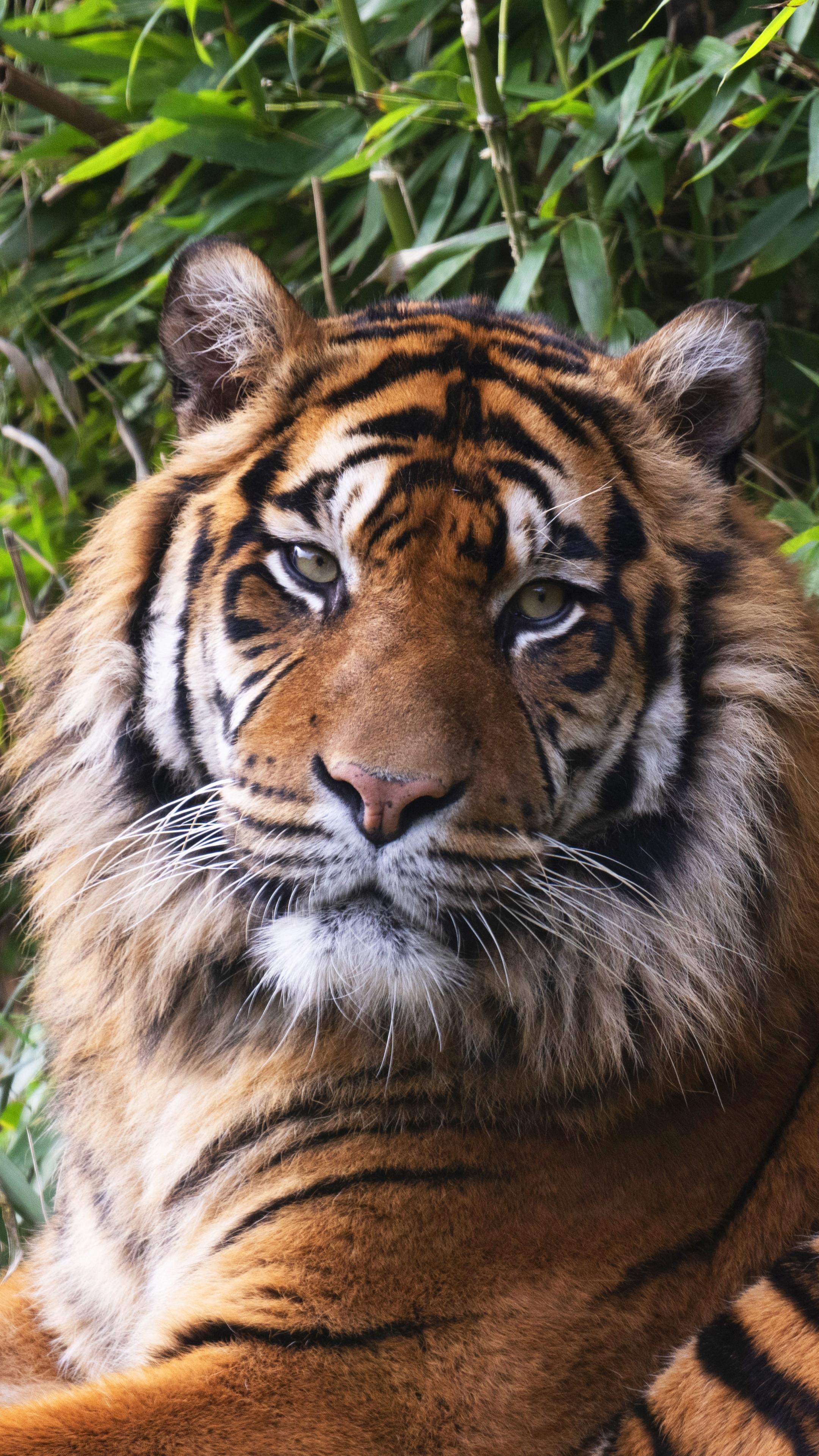 Tiger Splash Oil Paint Wallpaper Painting Wallpaper Art