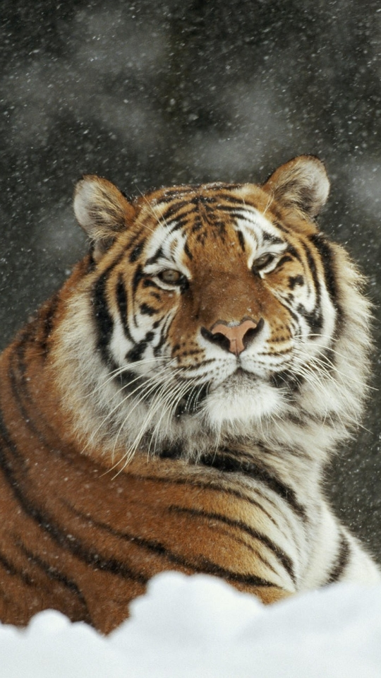 Tiger Wallpapers For Android