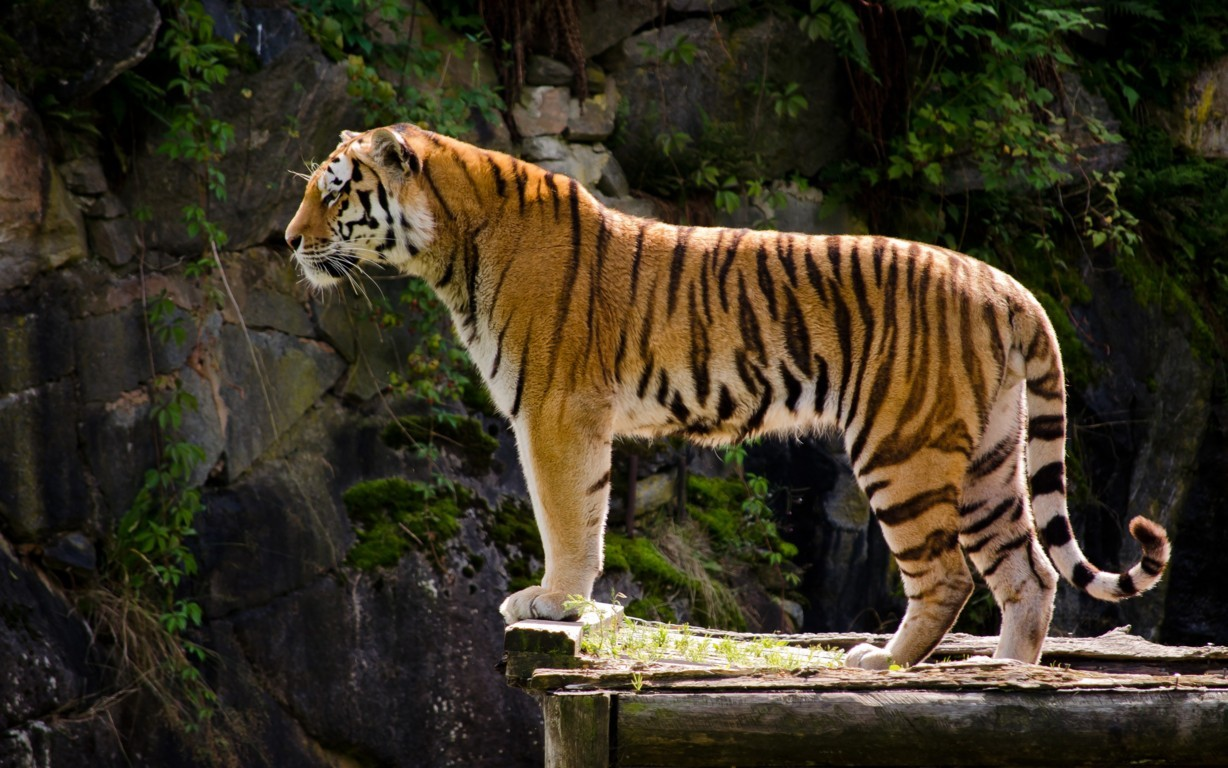 Tiger Wallpapers High Quality HD