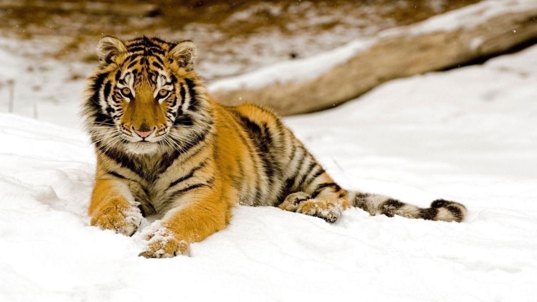 Tigers Cheetahs Leopards Wallpapers Amp Hd Desktop Backgrounds