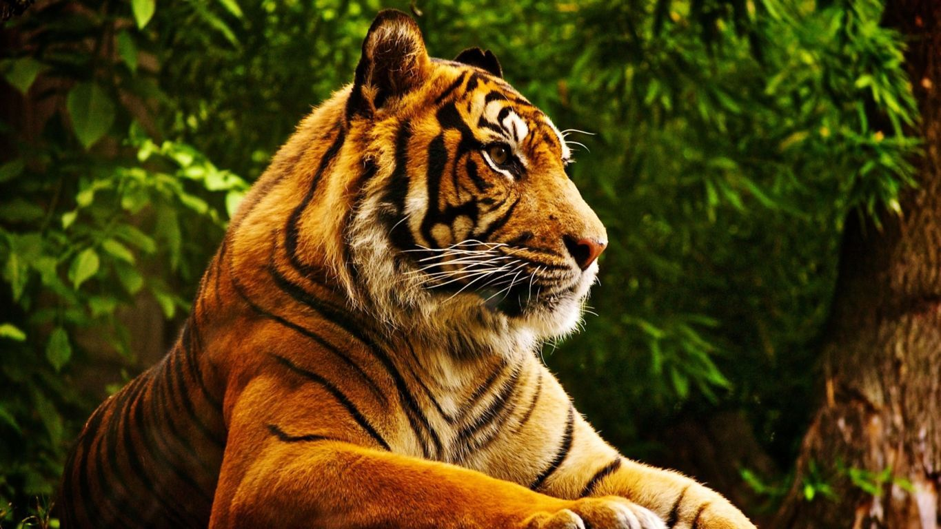 Tigers Image Siberian Tiger Wallpaper And Background Photo Hd