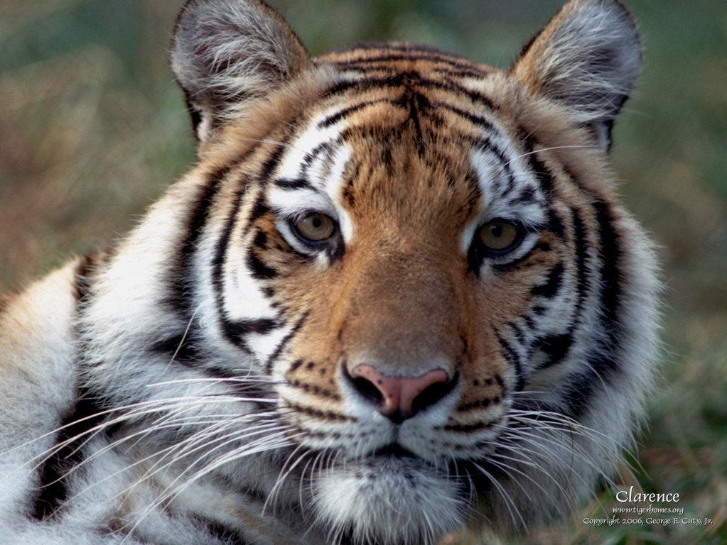 Ultra HD Tiger Wallpaper