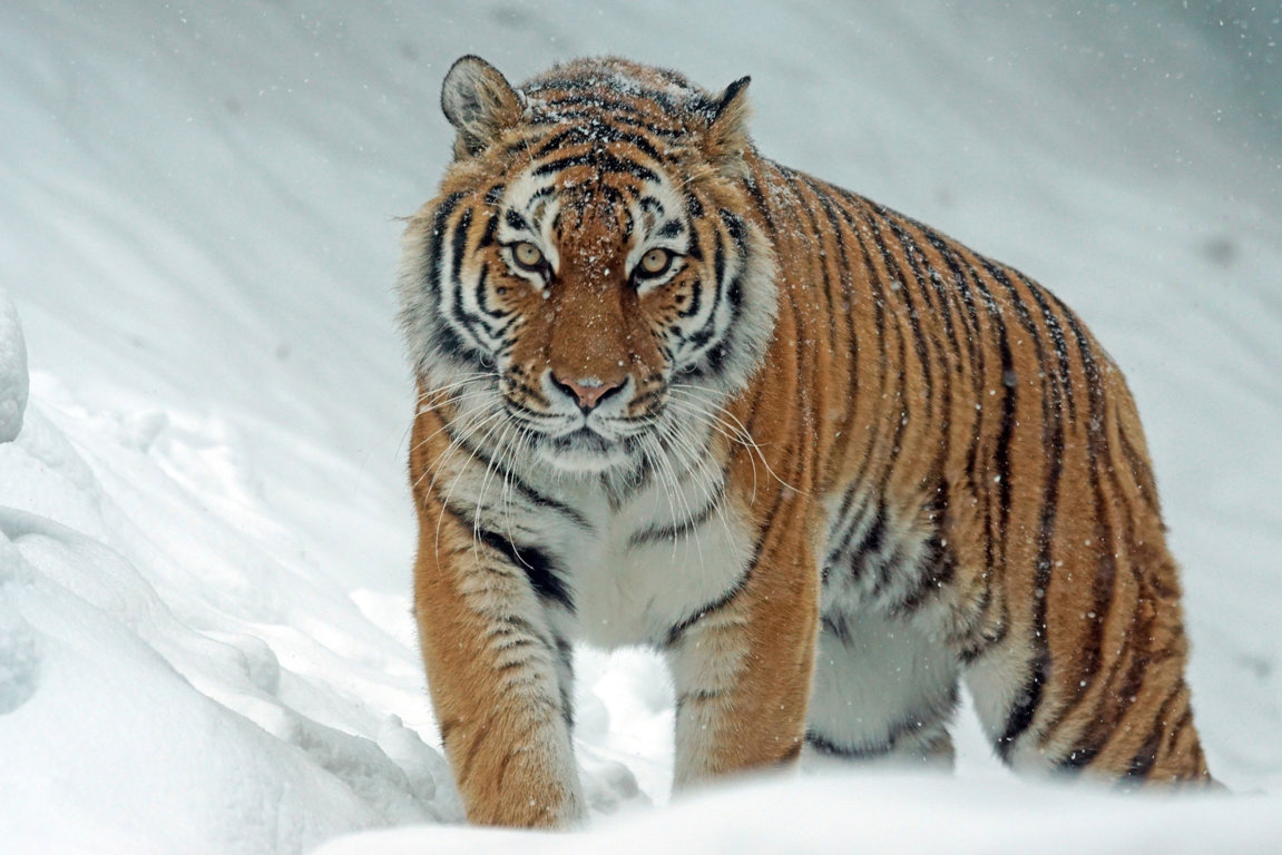 Wallpapers Hd Tiger Hd 3 Hd Wallpapers Image