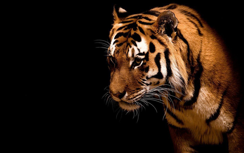 Wallpapers Siberian Tiger Elena Snowfall Hd 4k Animal Tigress