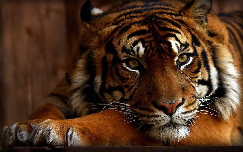 Wallpapers Sumatran Tiger Wild 4k Animal Tiger