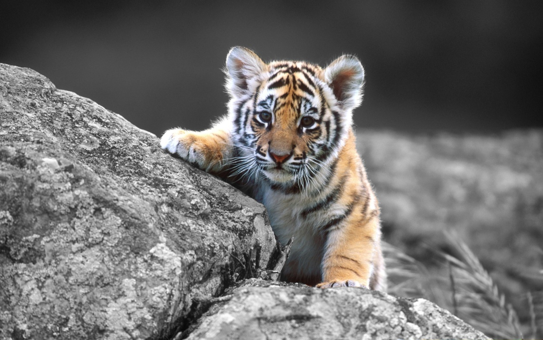 Wallpapers Sumatran Tiger Wild Animals Tiger