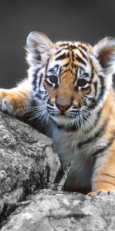 White Siberian Tiger Wallpaper Tiger Phone