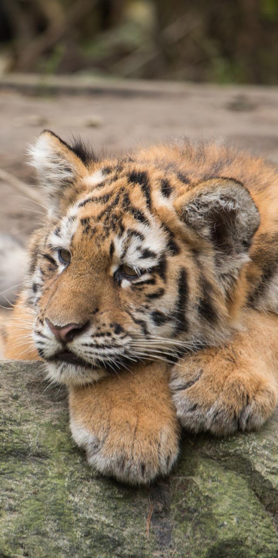 White Siberian Tiger Wallpaper Wallpaper Tiger Phone