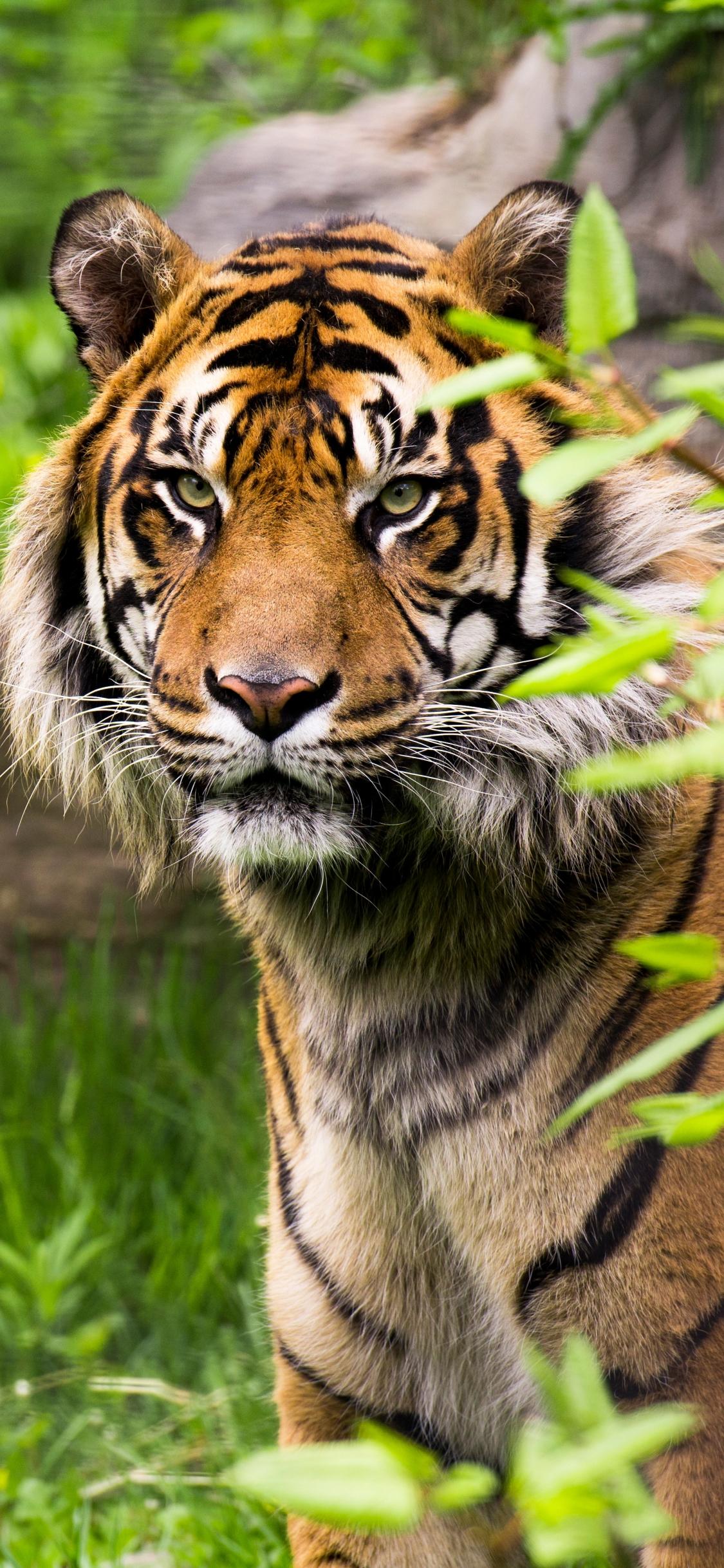 White Tiger Mobile Wallpaper HD