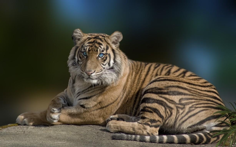 White Tiger Wildlife