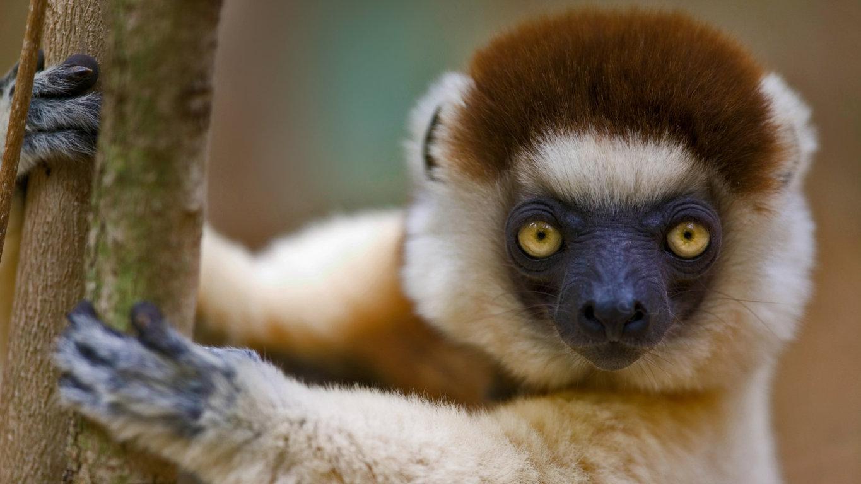 Abstract Hd Wallpaper Katta Mobile Wallpaper Lemur Tailed