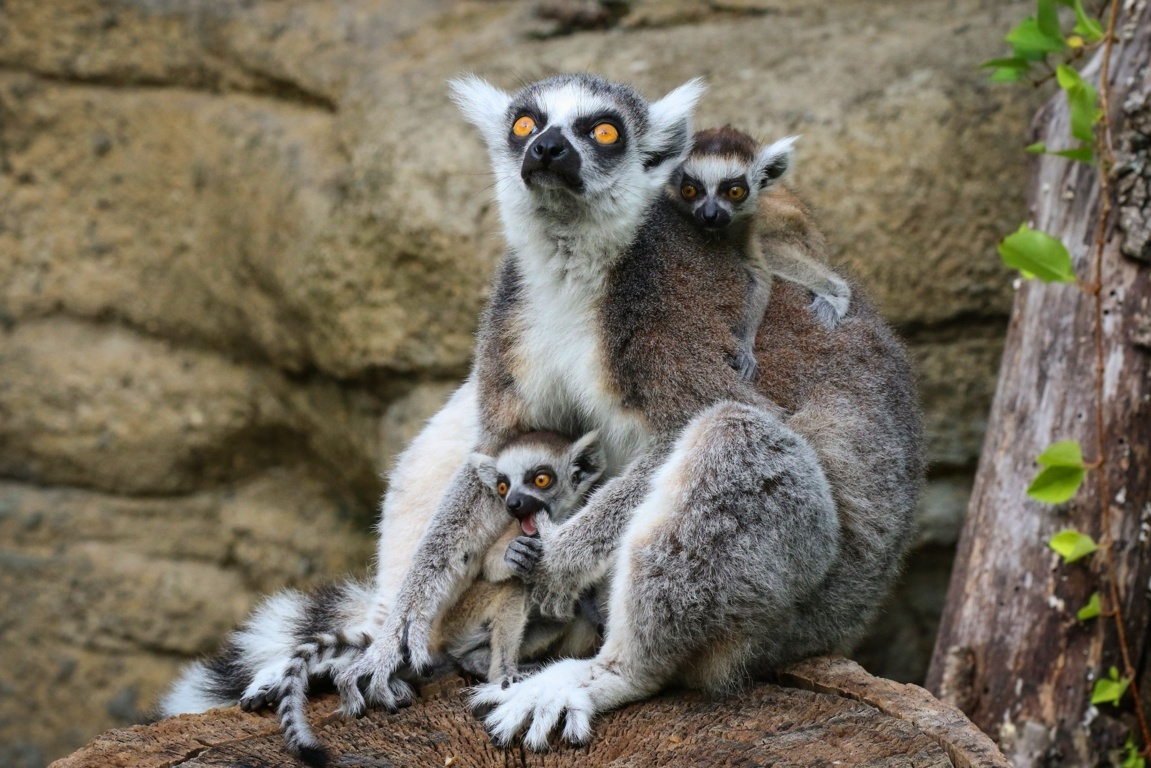 Animals Lemurs Wallpapers Hd Wallpapers