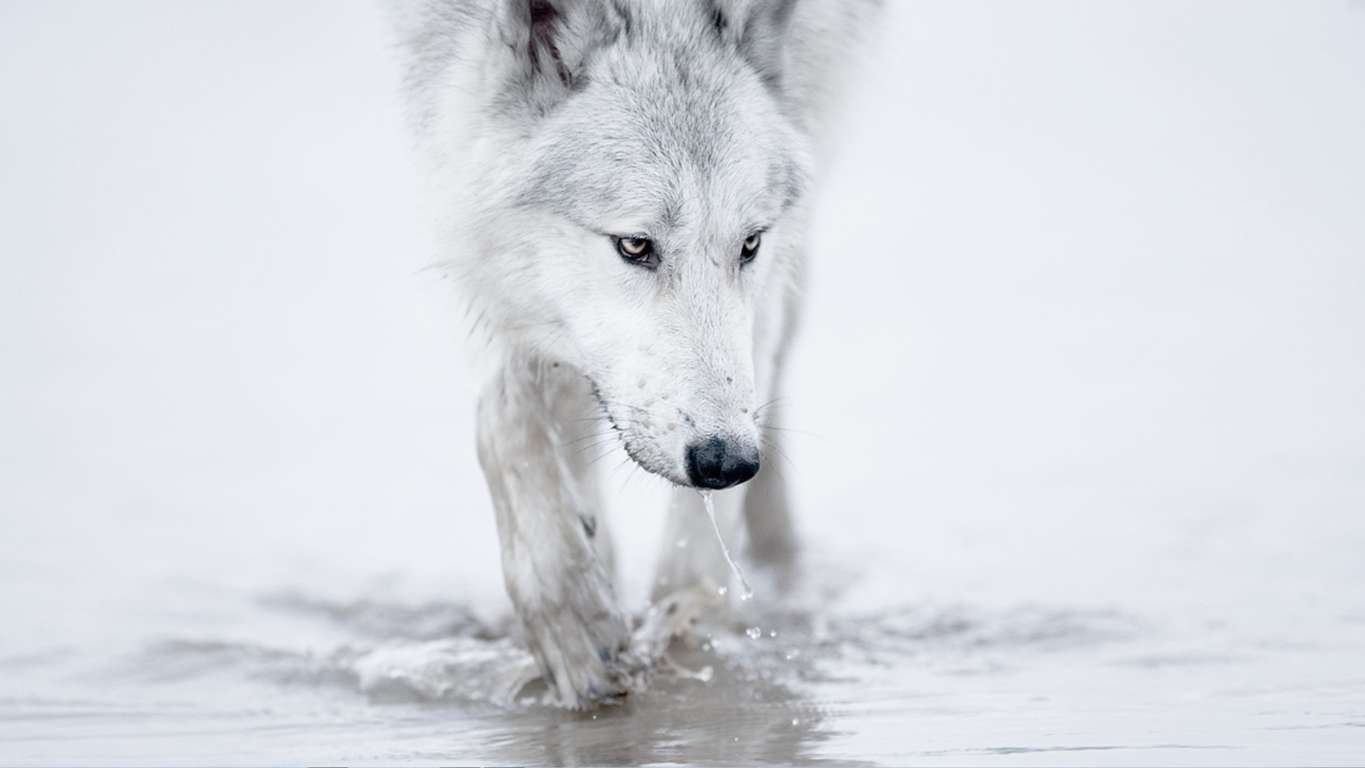 Animals Wolf Wallpaper Hd And Mobile Background Desktop