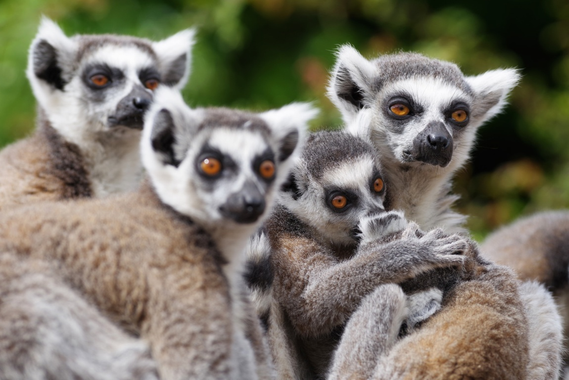 Awesome Tailed Lemurs HD Wallpaper