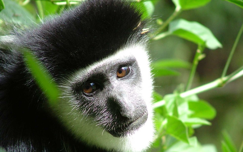 Baby Monkey HD Wallpapers
