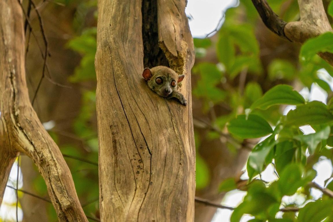 Cute Lemurs Kissing Wallpapers