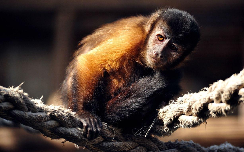 Cute Monkey Wallpaper Image Brilliant