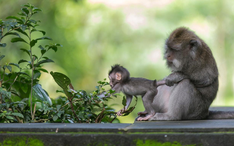 Desktop Wallpapers Gallery Animals Monkey Chimpanzees