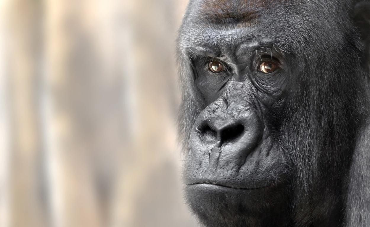 Download Gorilla Wallpapers