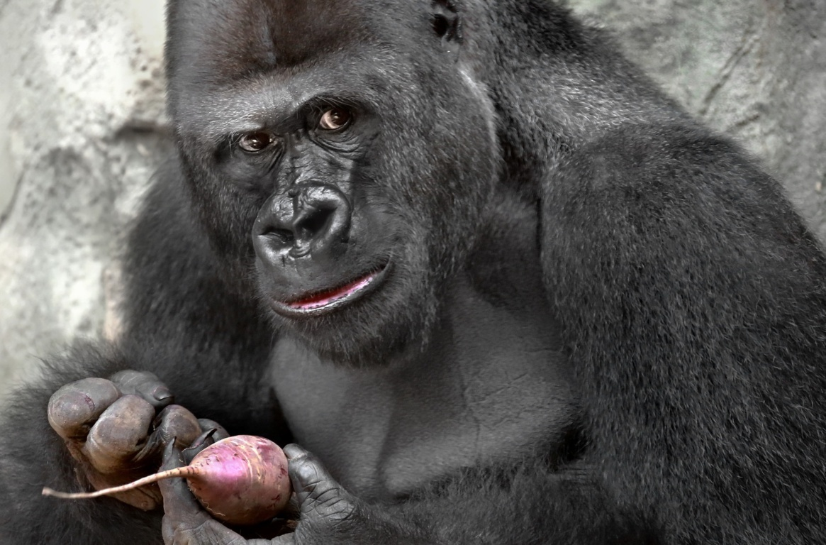 Download The Most Beautiful Gorilla Wallpaper Thoughtful